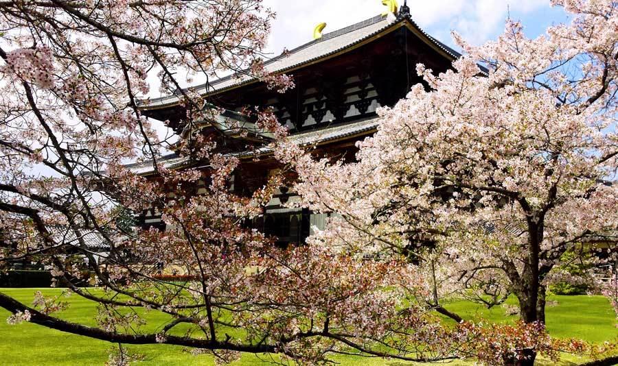 Meilleur moment pour visiter le Japon pour les fleurs de cerisier: Nara fin mars