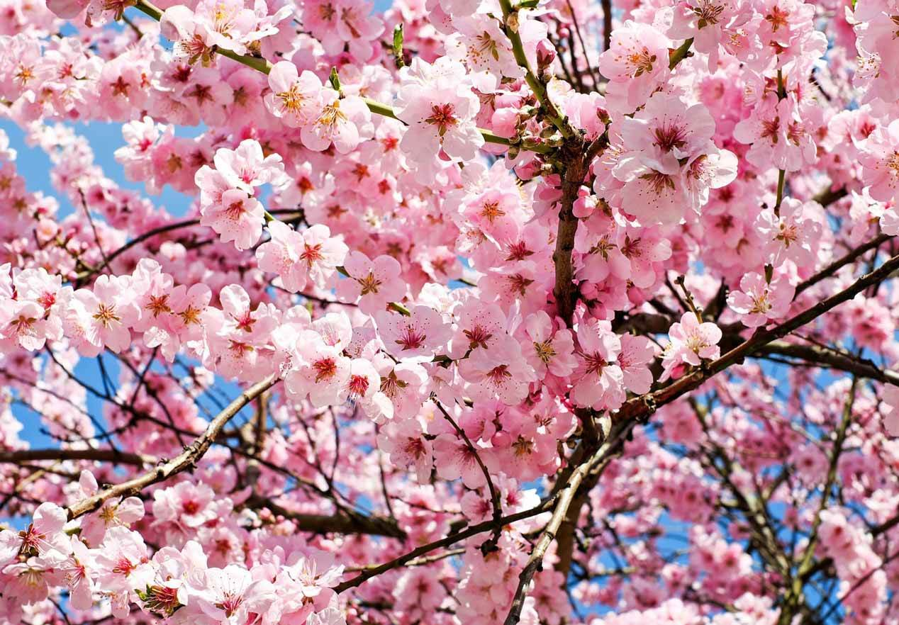 Revealed The Best Time To Visit An For Cherry Blossoms