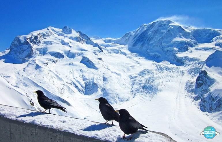 Blackbirds at the Gornergrat Lookout
