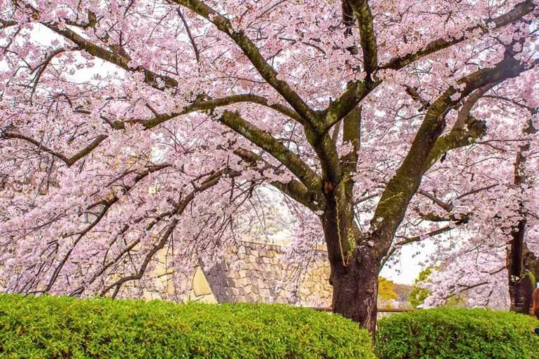 Meilleur moment pour visiter le Japon pour les fleurs de cerisier: le château d'Osaka début avril